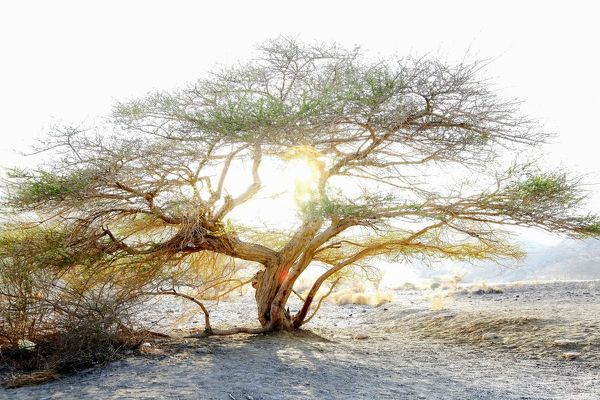 Umbrella thorn acacia (Acacia tortilis). A medium to large canopied tree native to arid areas in the savannas of Africa and the Middle East. Photographed in the northern plains of Negev desert, Israel, at sunset