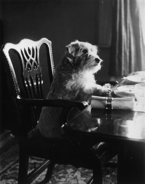 circa 1935: A dog sitting expectantly at a dinner table. (Photo by Lyne/Getty Images)