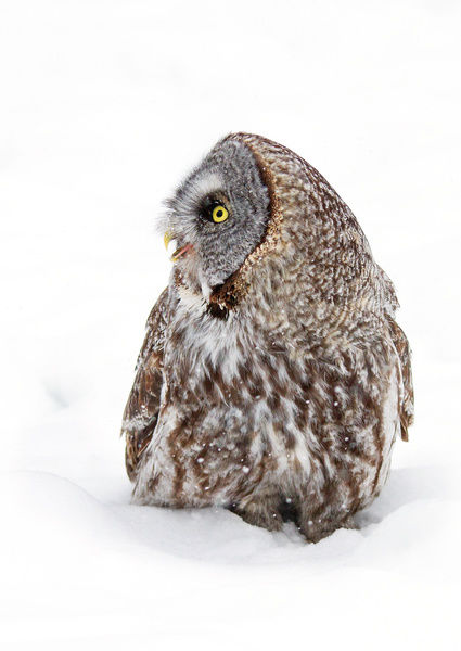 Call of the wild. Great grey owl calls out | Framed Print ...