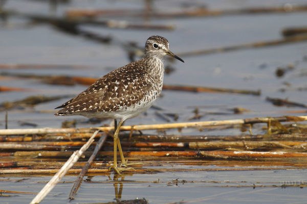 Wood Sandpiper -Tringa glareola- standing on reeds in shallow water, Burgenland, Austria