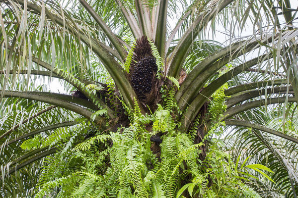 African oil palm (Elaeis guineensis), source of vegetable oil used in the food industry