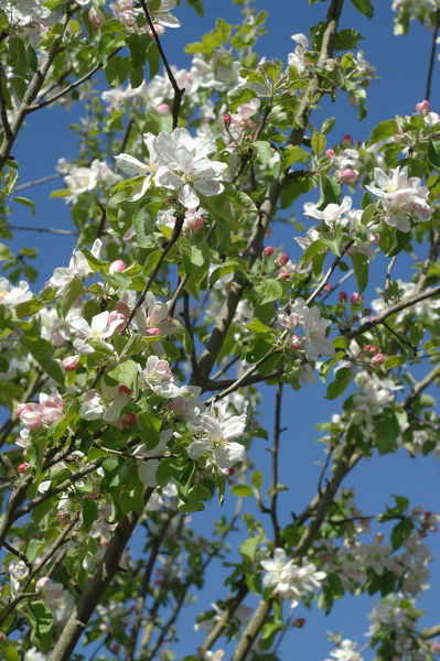 An apple tree (Malus sp.) in blossom in spring