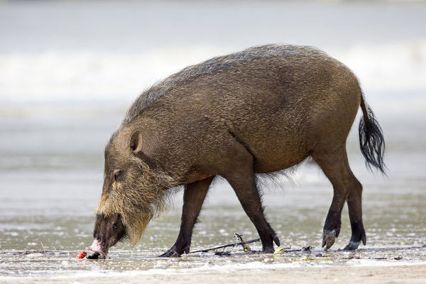 Bearded forest pig (Sus barbatus) female foraging on a beach. Bako National Park, Sarawak, Borneo, Malaysia
