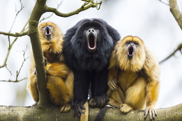 Black howler monkeys (Alouatta caraya), male flanked by females showing the size difference between the sexes. Native to rainforests of central South America
