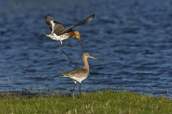 Black-tailed godwit (Limosa limosa) pair about to mate on a lake bank. Borreby Mose, Zealand, Denmark