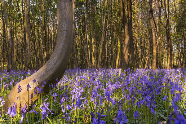 Bluebells (Hyacinthoides non-scripta), carpeting a clearing in a forest. Crecy Forest, Somme, Picardie, France