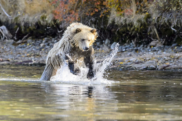 Brown or Grizzly bear (Ursus arctos horribilis), one and a half years old, in a river leaping to catch a Sockeye salmon (Oncorhynchus nerka). Chilcotin Ranges, British Columbia, Canada