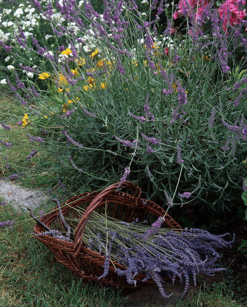 Bunch of Lavender in a trug in a garden