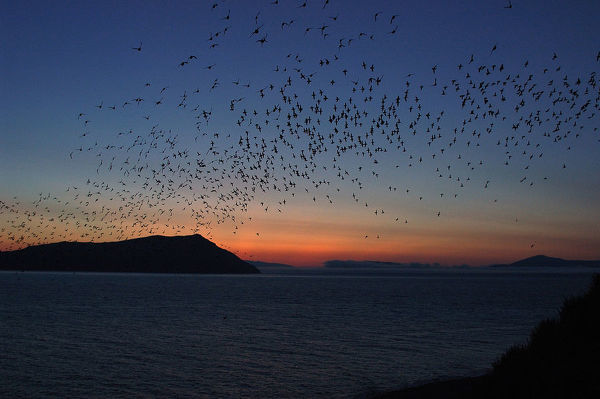 Crested auklets (Aethia cristatella), large flock in flight after sunset. Talan Island, Magadan Oblast, Far East Russia, Russian Federation