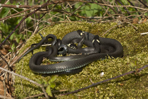 European grass snakes (Natrix natrix) about to mate: the male has his tail wrapped around the female and he will rub his head against her. Allindelille Fredskov forest, Denmark