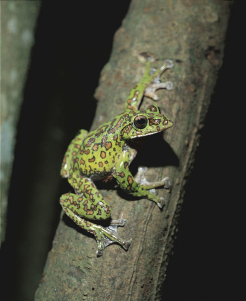 Forest green treefrog (Rhacophorus arboreus), on a tree trunk at night. Japn