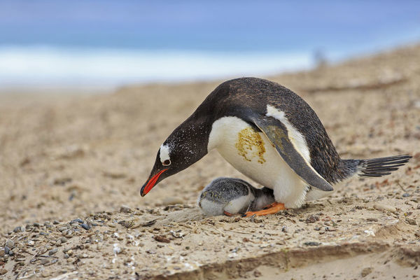 Gentoo penguin (Pygoscelis papua), with chick on ground nest constructed of stones. The chicks remain in the nest for approx. 30 days after hatching. Falkland Islands, South Atlantic