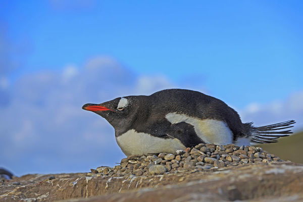 Gentoo penguin (Pygoscelis papua), nesting on its ground nest constructed of stones. Eggs are incubated for 34 to 36 days before hatching. Falkland Islands, South Atlantic