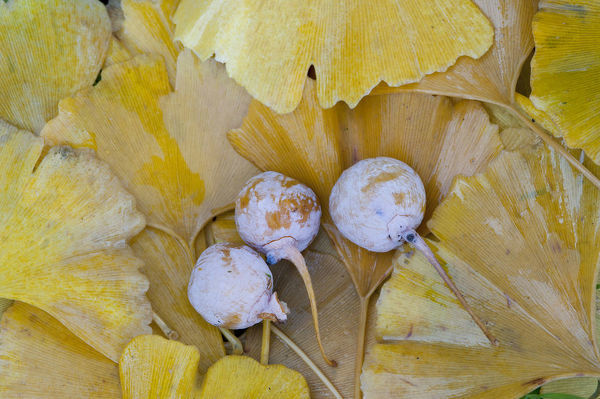 Ginkgo (Ginkgo biloba), leaves and fruit on a female tree. the nuts are edible when cooked. Native to China