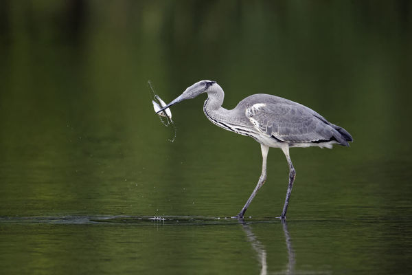 Grey heron (Ardea cinerea) in shallows, swallowing a fish. Midlands, England, United Kingdom