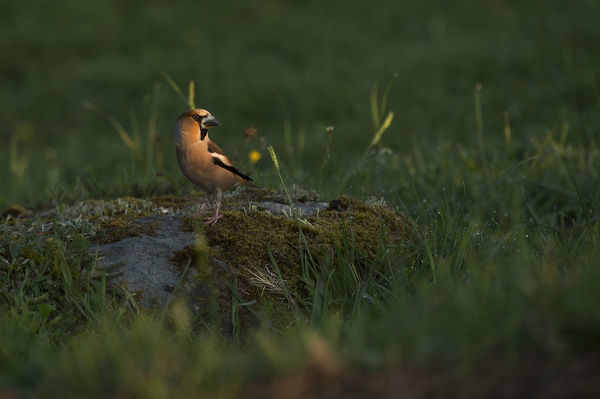 Hawfinch (Coccothraustes coccothraustes) on a rock at sunrise. Hinshult, Smaland, Sweden