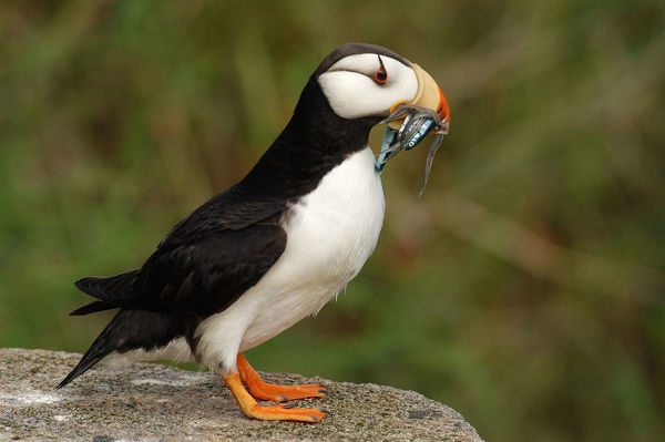 Horned puffin (Fratercula corniculata), on a boulder with fish in its bill. Talan Island, Magadan Oblast, Far East Russia, Russian Federation