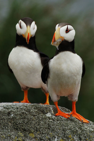Horned puffins (Fratercula corniculata), two birds on a boulder, one holding a prey. Talan Island, Magadan Oblast, Far East Russia, Russian Federation