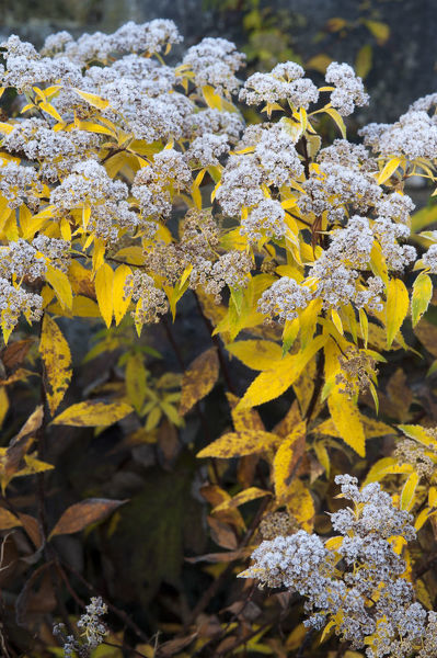 Japanese meadowsweet ?Goldflame? (Spiraea japonica), dried inflorescences. The variety name is for the foliage. Native to East Asia