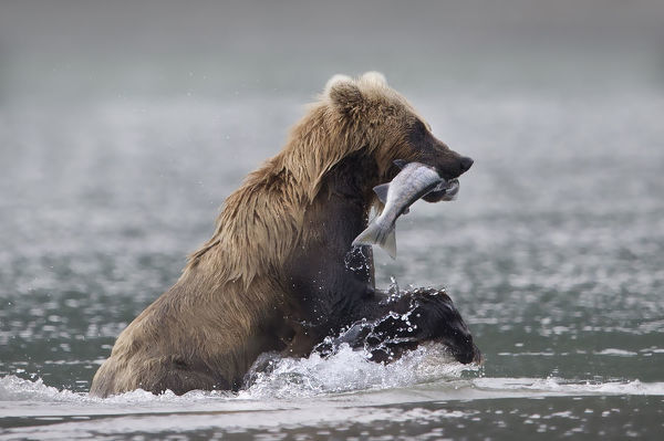 Kamchatka brown bear (Ursus arctos beringianus) catching a salmon. Kurile Lake, Southern Kamchatka Wildlife Refuge, Kamchatka Peninsula, Russia