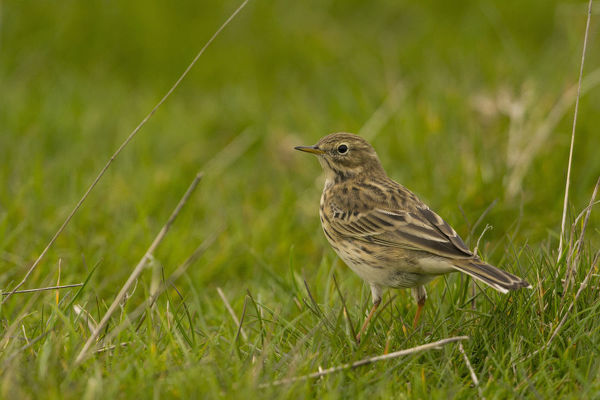 Meadow pipit (Anthus pratensis) on the ground in grass. Somme Bay National Nature Reserve, Picardy, France