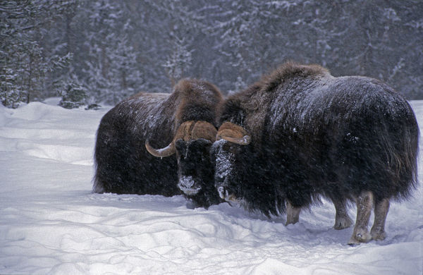 Musk ox (Ovibos moschatus), two animals in snow. Canada