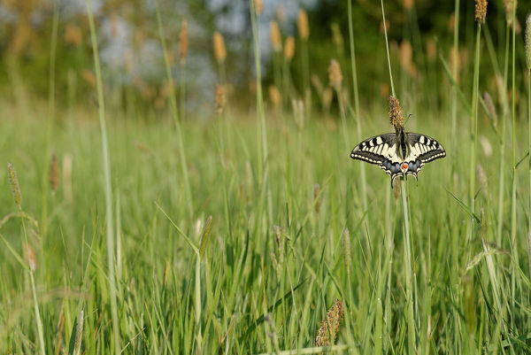 Old World swallowtail (Papilio machaon) on a stem, wings spread. Prairie Fouzon, Loir-et-Cher, France