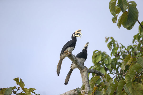 Oriental pied hornbill (Anthracoceros albirostris) pair, perched on the branch of a tree in rainforest. Kinabatangan River, Sabah, Borneo, Malaysia