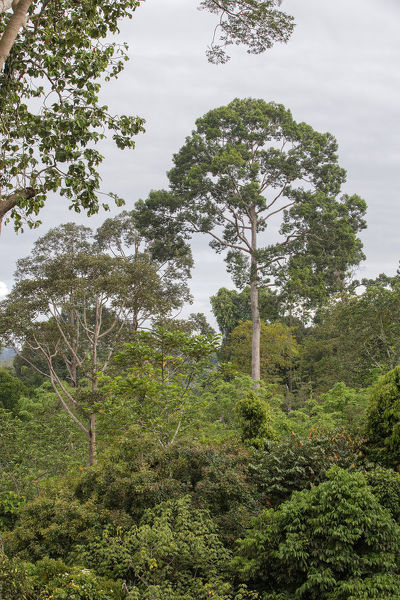 Primary forest in the Kabili-Sepilok Forest Reserve including Parashorea spp. Near Sandakan, Sabah, Borneo, Malaysia