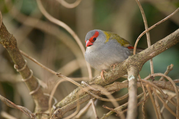 Red-browed firetail (Neochmia temporalis), Lamington National Park, Queensland, Australia