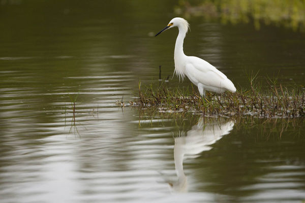 Snowy egret (Egretta thula) fishing in a river. Everglades National Park, Florida, USA