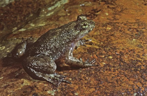 white plague Southern-gastric-brooding-frog-rheobatrachus-10101167