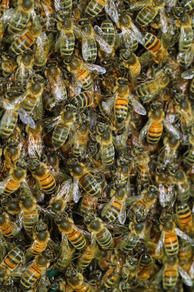 Western honey bees (Apis mellifera), swarm. France