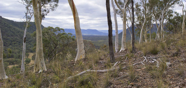 White-trunked trees (Eucalyptus sp.) with Wolgan Valley beyond. Gardens of Stone National Park, near Lithgow, New South Wales, Australia