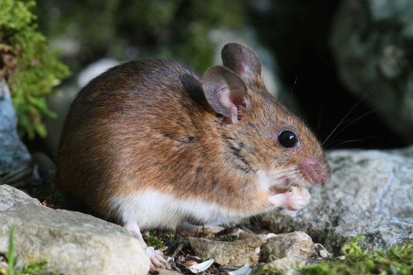 Yellow-necked mouse (Apodemus flavicollis) eating seeds. France