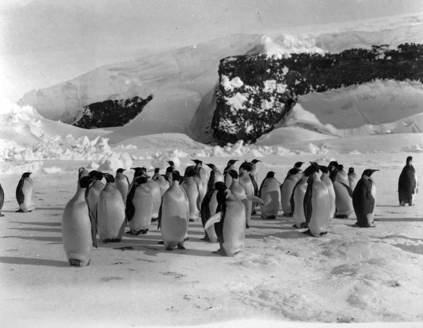 Photographer: Charles William Rawson Royds (1876-1931). Expedition: British National Antarctic Expedition 1901-04 (Discovery). Endemic to the Antarctic the Emperor penguin is one of the largest of all birds. Scientific name: Aptenodytes forsteri