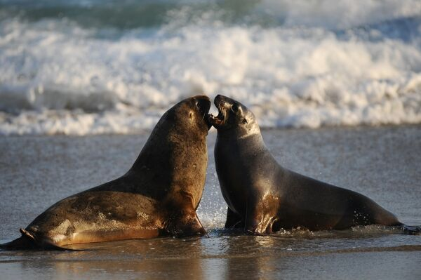 Seals are pictured on the beach in Sandfly Bay near Dunedin, on September 21, 2011. AFP PHOTO / CHRISTOPHE SIMON / AFP PHOTO / CHRISTOPHE SIMON