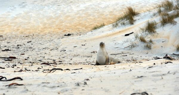A sea lion makes its way across the beach to the sea at Sandfly Bay near Dunedin in New Zealand. AFP PHOTO/PAUL ELLIS / AFP PHOTO / PAUL ELLIS