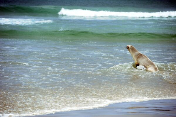 A sealion makes its way across the beach to the sea at Sandfly Bay near Dunedin in New Zealand. AFP PHOTO/PAUL ELLIS / AFP PHOTO / PAUL ELLIS