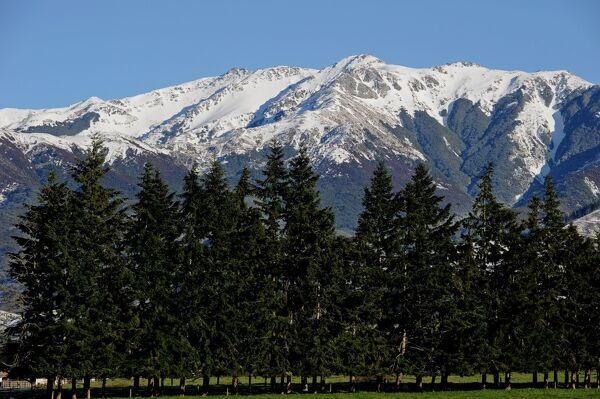 This photo shows snow capped mountains and pine trees near Hanmer Springs on New Zealand's South Island