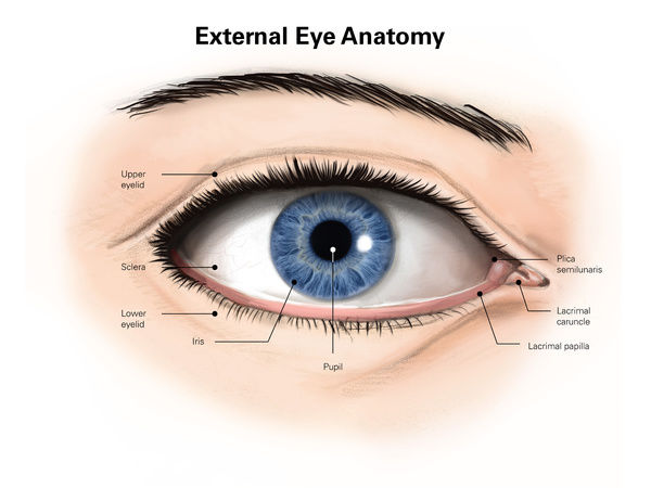 External anatomy of the human eye (with labels) - Photo Prints ...