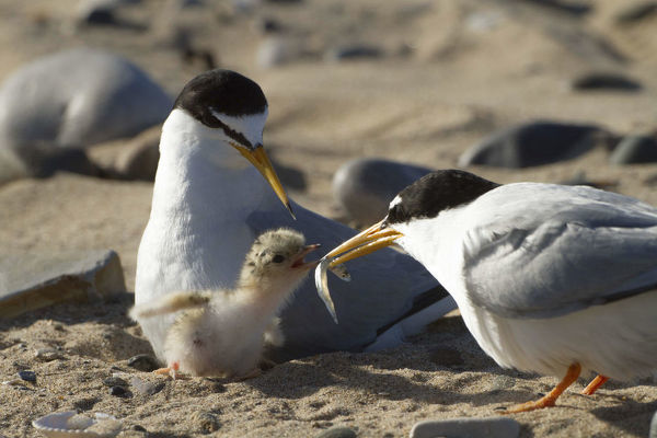Little tern (Sterna albifrons ) feeding sand eel (Hyperoplus spp) to young chick. Gronant Dunes, Denbighshire, Wales, UK, June