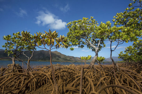 Mangroves on Tupeti Island, Southern Lagoon, Forgotten Coast, Lagoons of New Caledonia: Reef Diversity and Associated Ecosystems UNESCO World Heritage Site. New Caledonia