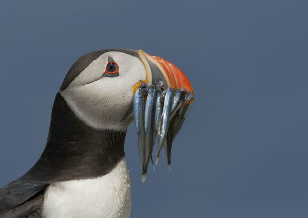Puffin (Fratercula arctica) with beak full of sandeels, Farne Islands, Northumberland