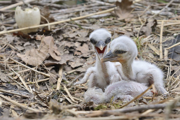 Recently hatched White stork (Ciconia ciconia) chicks begging for food in their nest. In captive breeding colony raising young birds for UK White Stork reintroduction project at the Knepp Estate. Cotswold Wildlife Park, Oxfordshire, UK, April 2019