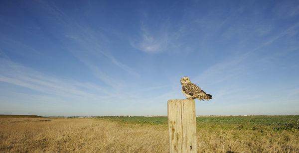 Short-eared owl (Asio flammeus) perched on post at edge of conservation margin and arable crop, Wallasea Island Wild Coast project, Essex, England, UK, January