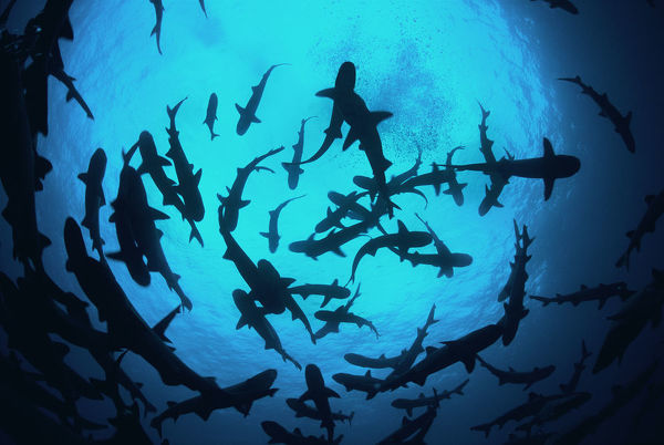 Whitetip reef sharks (Triaenodon obesus) pack silhouetted following scent trail in water column, Cocos Island, Costa Rica, Pacific Ocean