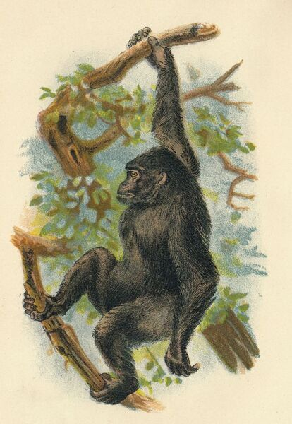 'The Gorilla', 1897. From Lloyd's Natural History - Monkeys, Part V, by Henry O. Forbes, LL.D., F.Z.S., &C., and edited by R. Bowdler Sharpe, LL.D. F.L.S., &c [Edward Lloyd, Limited, London, 1897]