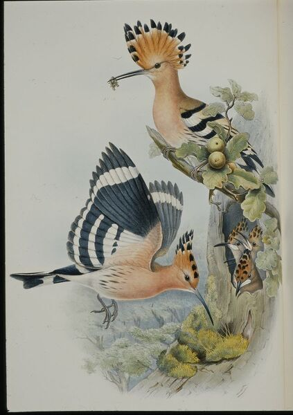 Hoopoe (Upupa Epops) (hand-coloured litho)
