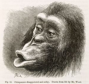 Chimpanzee. Illustration from 'Expression of Emotions...' by Darwin K970320